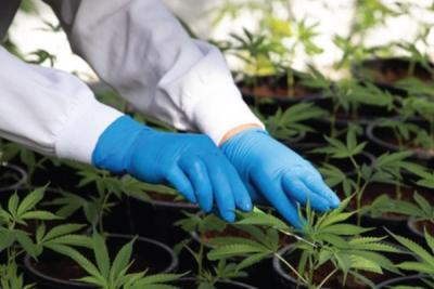 Africa embraces cannabis farming